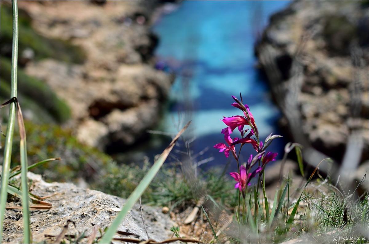 Felsenblümchen, auf Mallorca