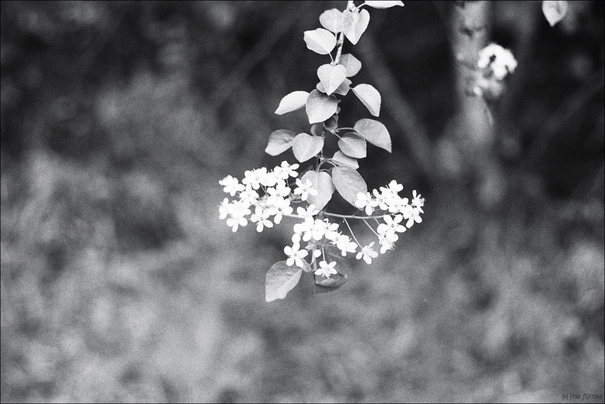 Realitätscheck; Blüten; analog; schwarzweiß