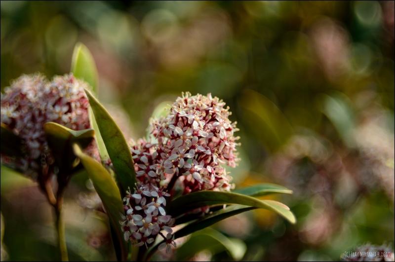 Blüte an Strauch Beispiel Bokeh Helios 44