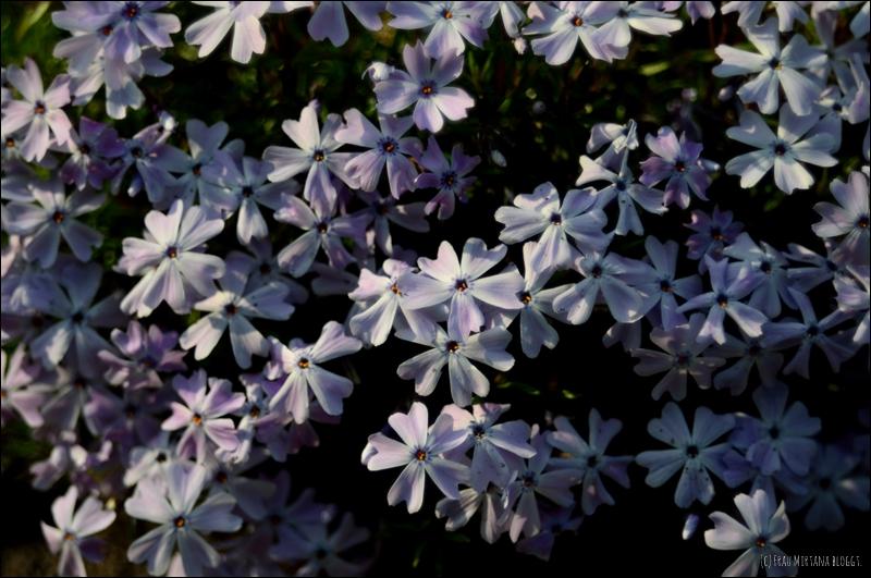 Blumen aufgenommen mit Helios 44