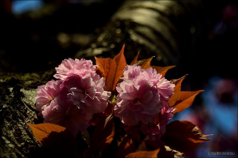 Kirschbluete aufgenommen mit Helios 44