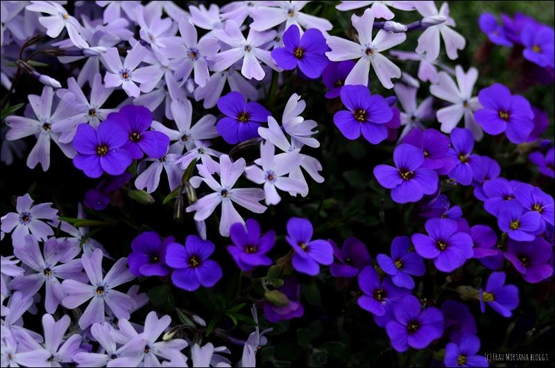 Blaue Blüten aufgenommen mit Helios 44