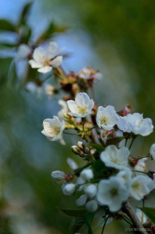 Blütenzweig aufgenommen mit Helios 44 Bokeh