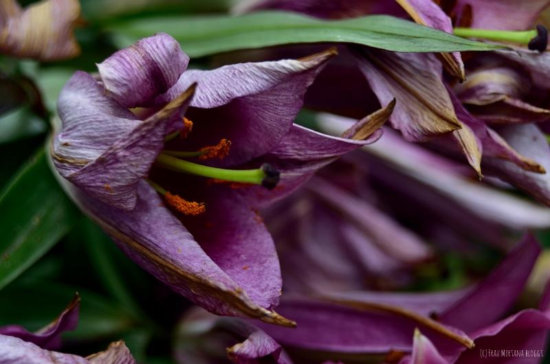Nahaufnahme verwelkte Blüte aufgenommen mit Helios 44